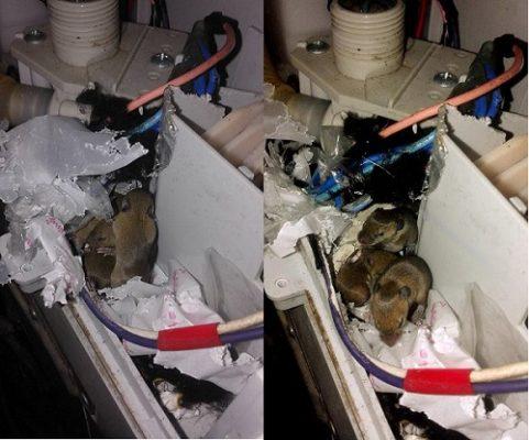 chuột cắn dây điện